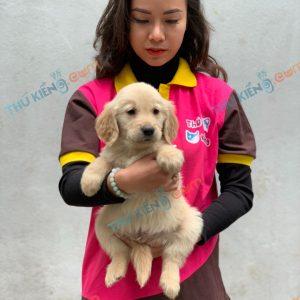 giong-cho-golden-retriever-50-ngay-tuoi-xuat-chuong-thang-1-2021-5
