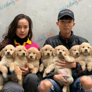 giong-cho-golden-retriever-50-ngay-tuoi-xuat-chuong-thang-1-2021-1