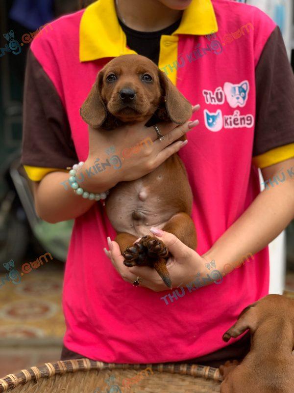 giong-cho-dachshund-45-ngay-tuoi-xuat-chuong-thang-4-2021-5