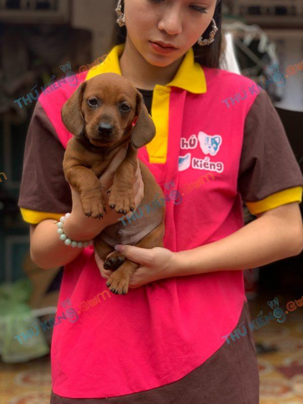 giong-cho-dachshund-45-ngay-tuoi-xuat-chuong-thang-4-2021-3