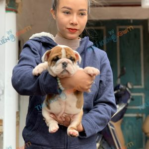 giong-cho-english-bulldog-45-ngay-tuoi-xuat-chuong-thang-3-2021-1