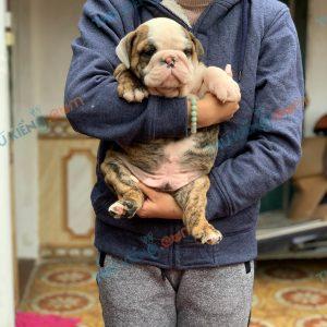 giong-cho-english-bulldog-45-ngay-tuoi-xuat-chuong-thang-3-2021-2
