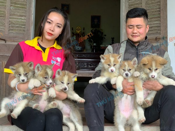 giong-cho-akita-inu-50-ngay-tuoi-xuat-chuong-thang-3-2021-1