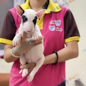 giong-cho-bull-terrier-cho-suc-bo-40-ngay-tuoi-xuat-chuong-thang-7-2021-9