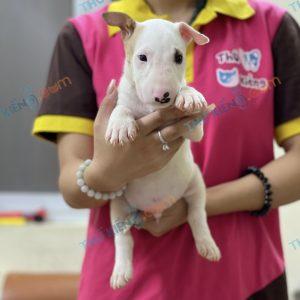 giong-cho-bull-terrier-cho-suc-bo-40-ngay-tuoi-xuat-chuong-thang-7-2021-8