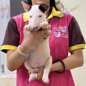 giong-cho-bull-terrier-cho-suc-bo-40-ngay-tuoi-xuat-chuong-7-thang-7-2021