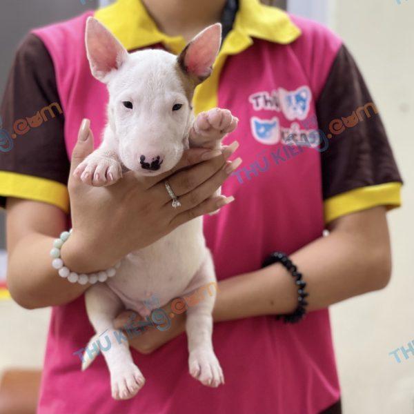giong-cho-bull-terrier-cho-suc-bo-40-ngay-tuoi-xuat-chuong-thang-7-2021-6