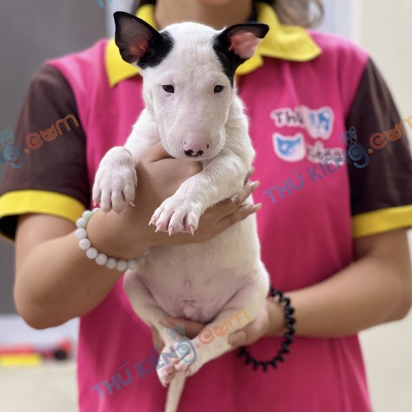 giong-cho-bull-terrier-cho-suc-bo-40-ngay-tuoi-xuat-chuong-thang-7-2021-5
