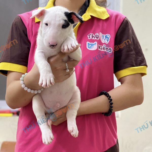 giong-cho-bull-terrier-cho-suc-bo-40-ngay-tuoi-xuat-chuong-thang-7-2021-4