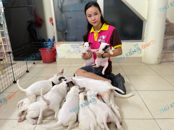 giong-cho-bull-terrier-cho-suc-bo-40-ngay-tuoi-xuat-chuong-thang-7-2021-3