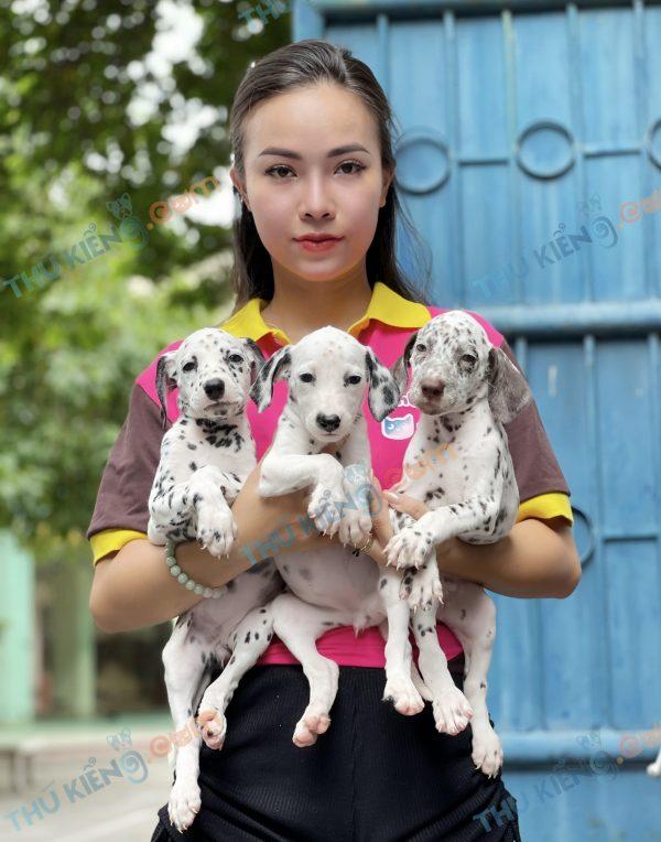 giong-cho-dalmatian-cho-dom-40-ngay-tuoi-xuat-chuong-thang-7-2021-1