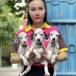 giong-cho-dalmatian-cho-dom-40-ngay-tuoi-xuat-chuong-thang-7-2021-5