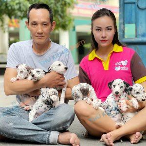 giong-cho-dalmatian-cho-dom-40-ngay-tuoi-xuat-chuong-thang-7-2021-3