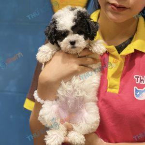 giong-cho-poodle-tiny-60-ngay-tuoi-xuat-chuong-thang-6-2021-1