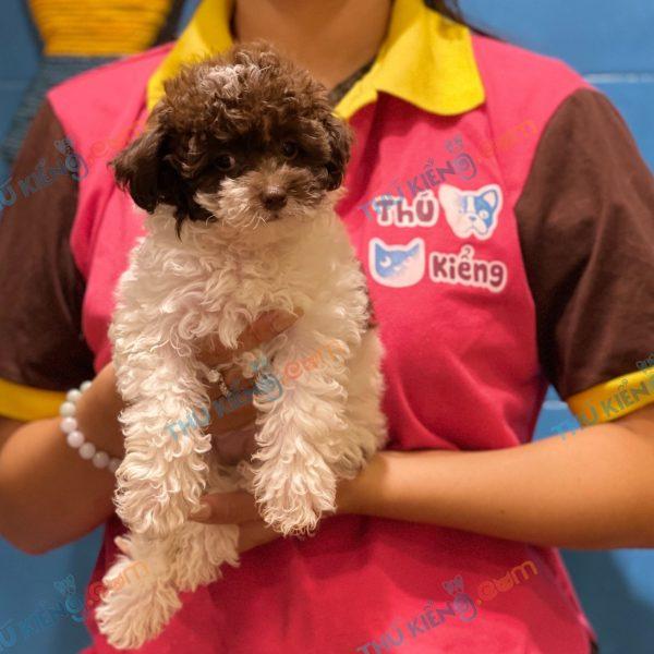 giong-cho-poodle-tiny-60-ngay-tuoi-xuat-chuong-thang-6-2021-3