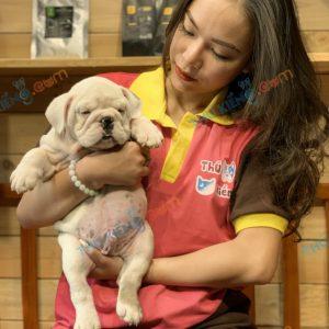giong-cho-bulldog-english-60-ngay-tuoi-xuat-chuong-thang-6-2021-1