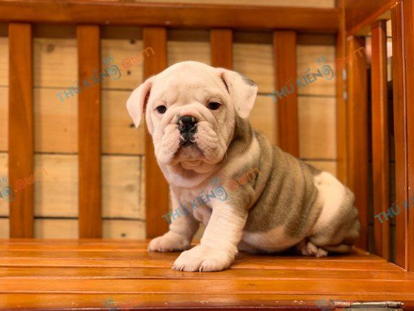 giong-cho-bulldog-english-60-ngay-tuoi-xuat-chuong-thang-6-2021-12