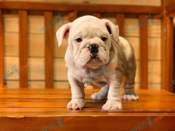giong-cho-bulldog-english-60-ngay-tuoi-xuat-chuong-thang-6-2021-11