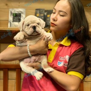 giong-cho-bulldog-english-60-ngay-tuoi-xuat-chuong-thang-6-2021-9