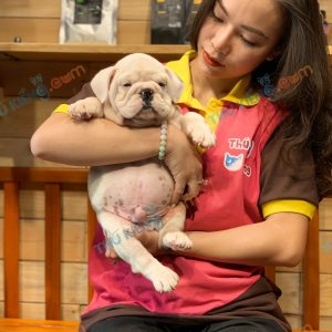 giong-cho-bulldog-english-60-ngay-tuoi-xuat-chuong-thang-6-2021-8