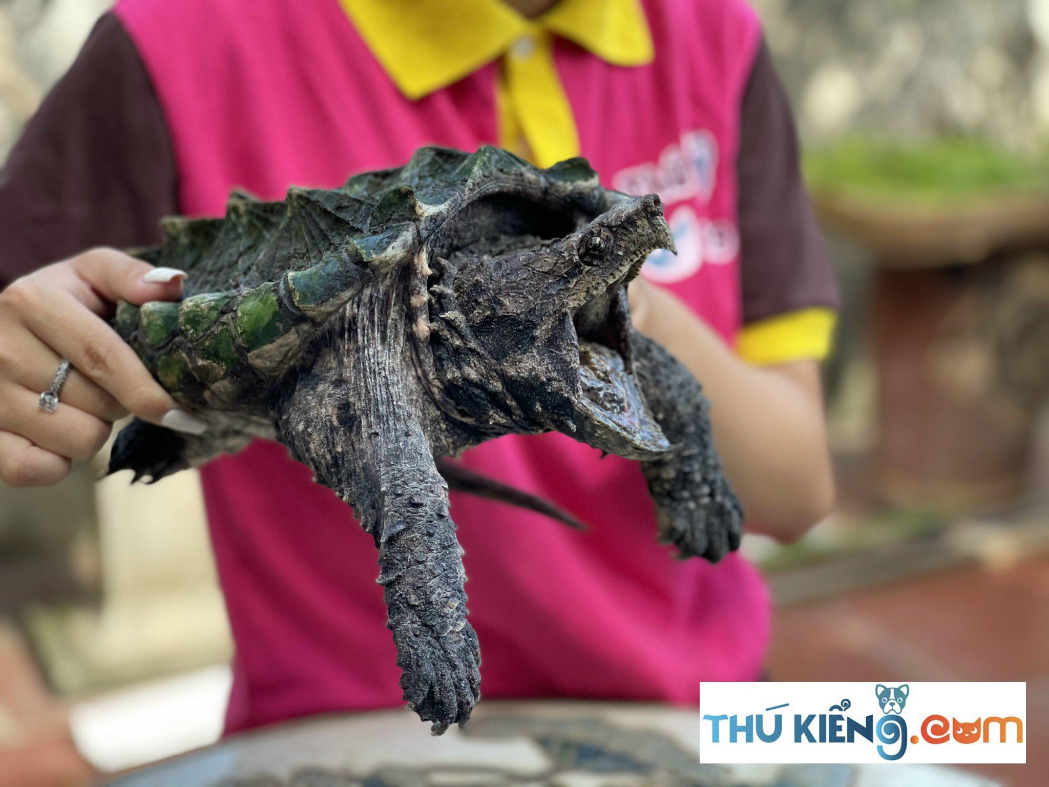 Cách nuôi rùa Aligator Snapping