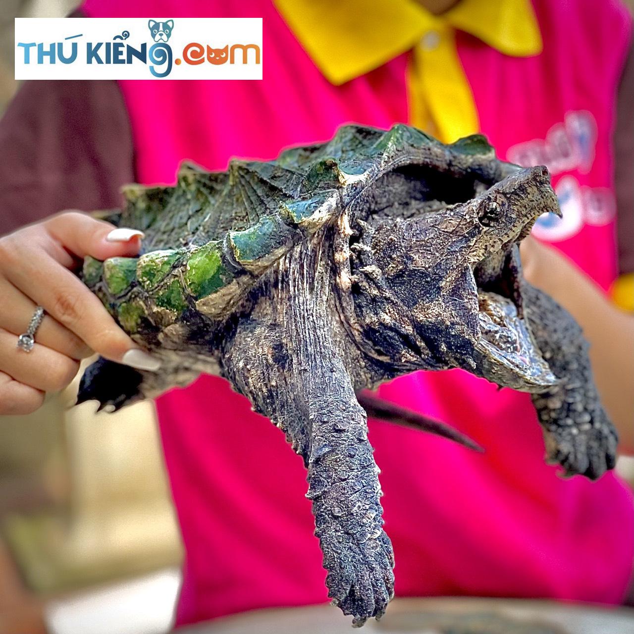Ngoại hình độc lạ của giống rùa Bắc Mỹ