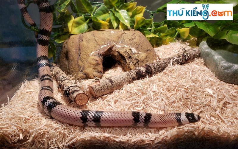 Anerythristic Hondurans Milk Snake