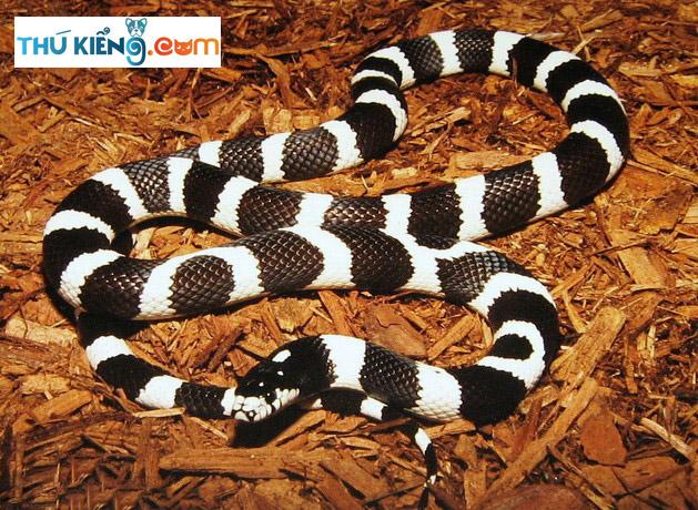 California King Snakes