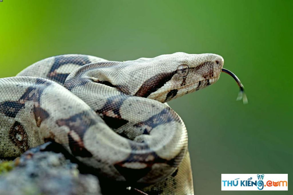 Chú ý các bệnh về miệng cho trăn Boa đuôi đỏ