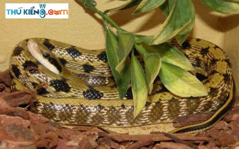 Chú ý lót nền cho rắn