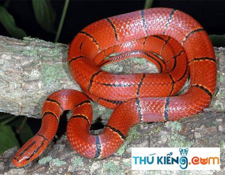 Cúng là loại rắn nhỏ
