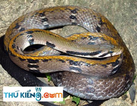 Hoa văn trên thân rắn