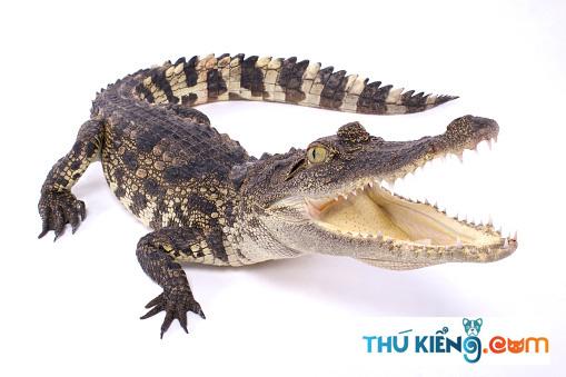 Không nên chọn cá Sấu quá to