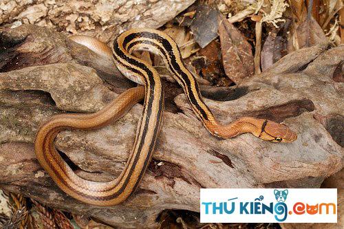 Ngoại hình rắn sọc dưa