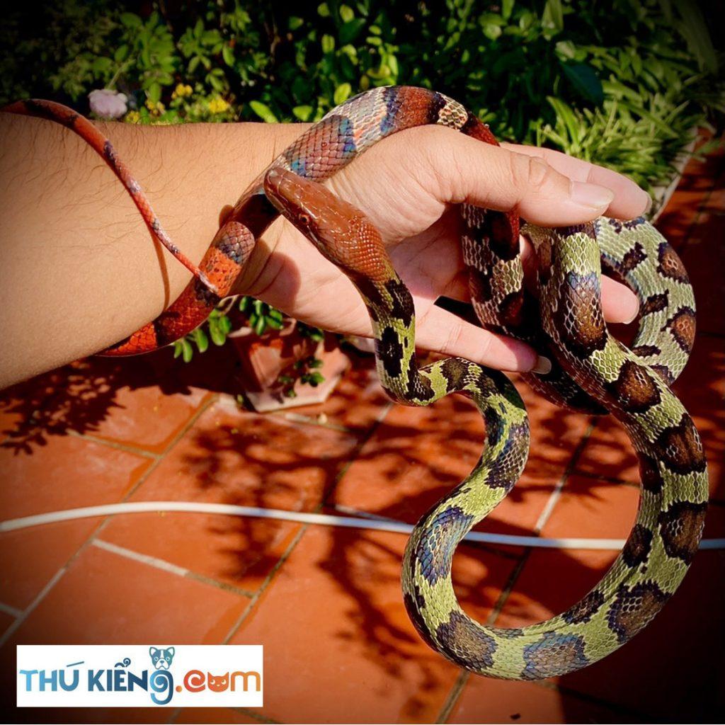Vẻ đẹp trăm hoa mỹ miều của rắn Sọc Khoanh