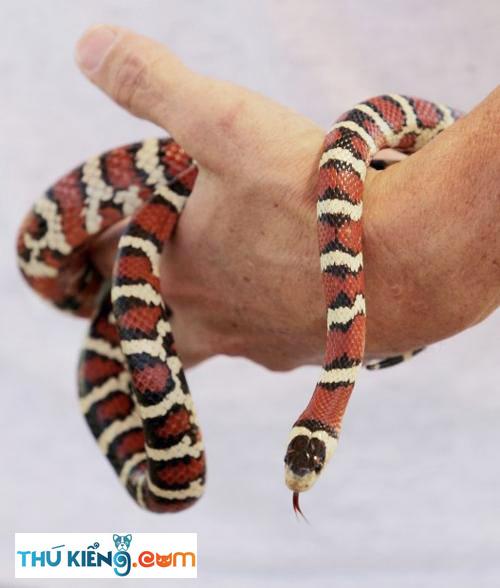 Rắn Vua King Snake