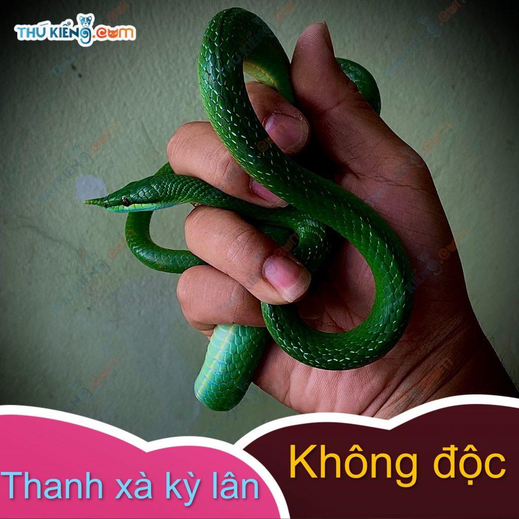 Thanh Xà Kỳ Lân là loài rắn cực hiếm có