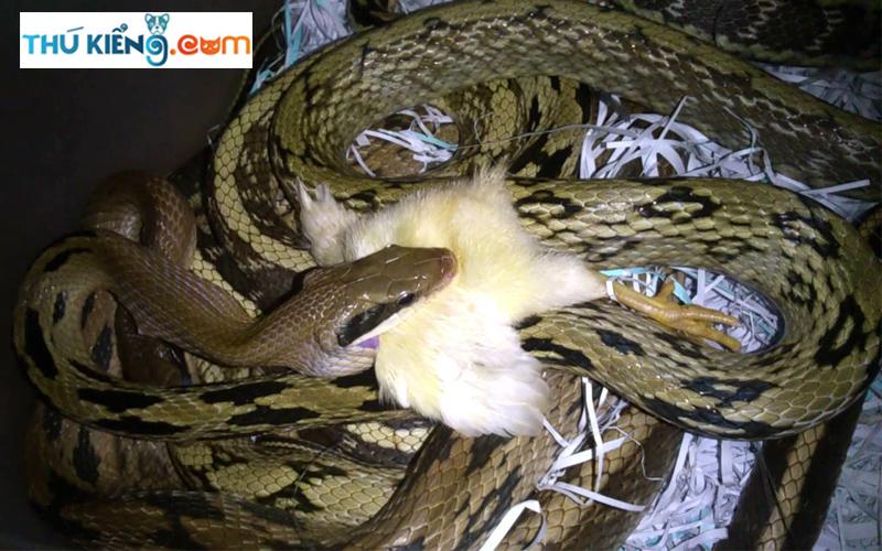 Thức ăn cho rắn Vàng Anh