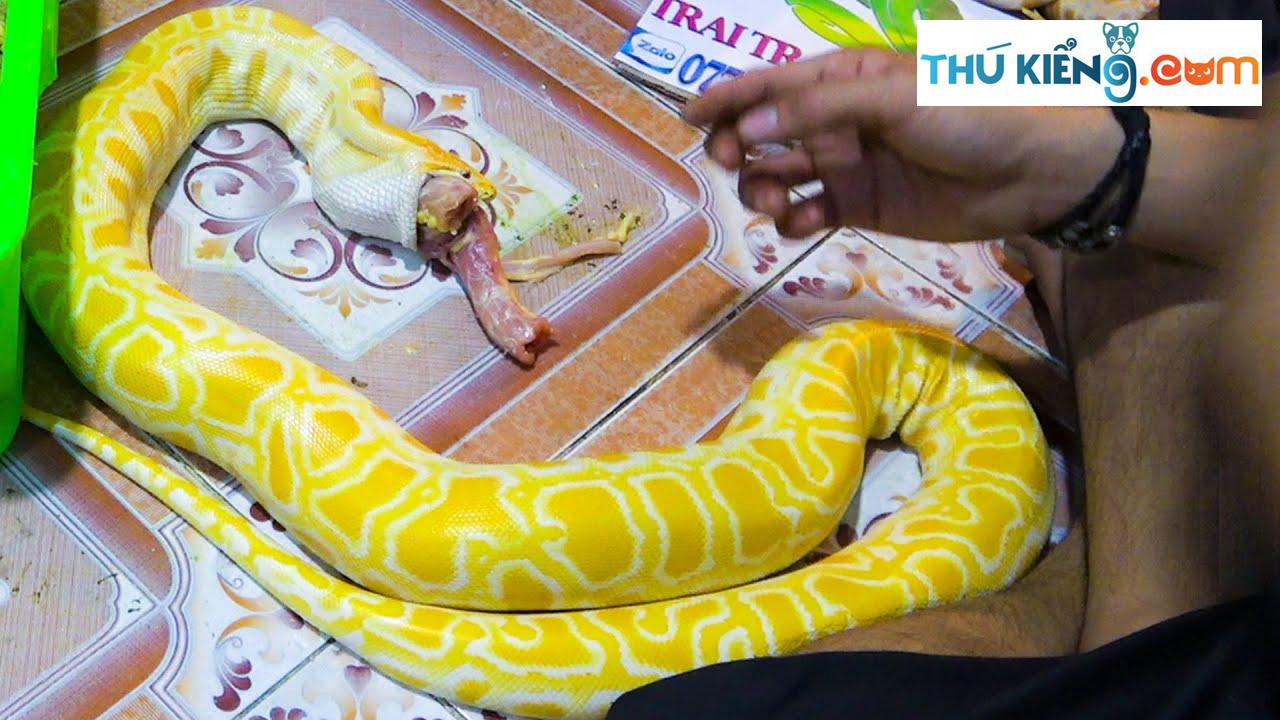 Trăn bạch tạng Albino đang ăn mồi