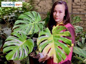 Monstera Deliciosa Aurea variegata mang phong cách tươi mới