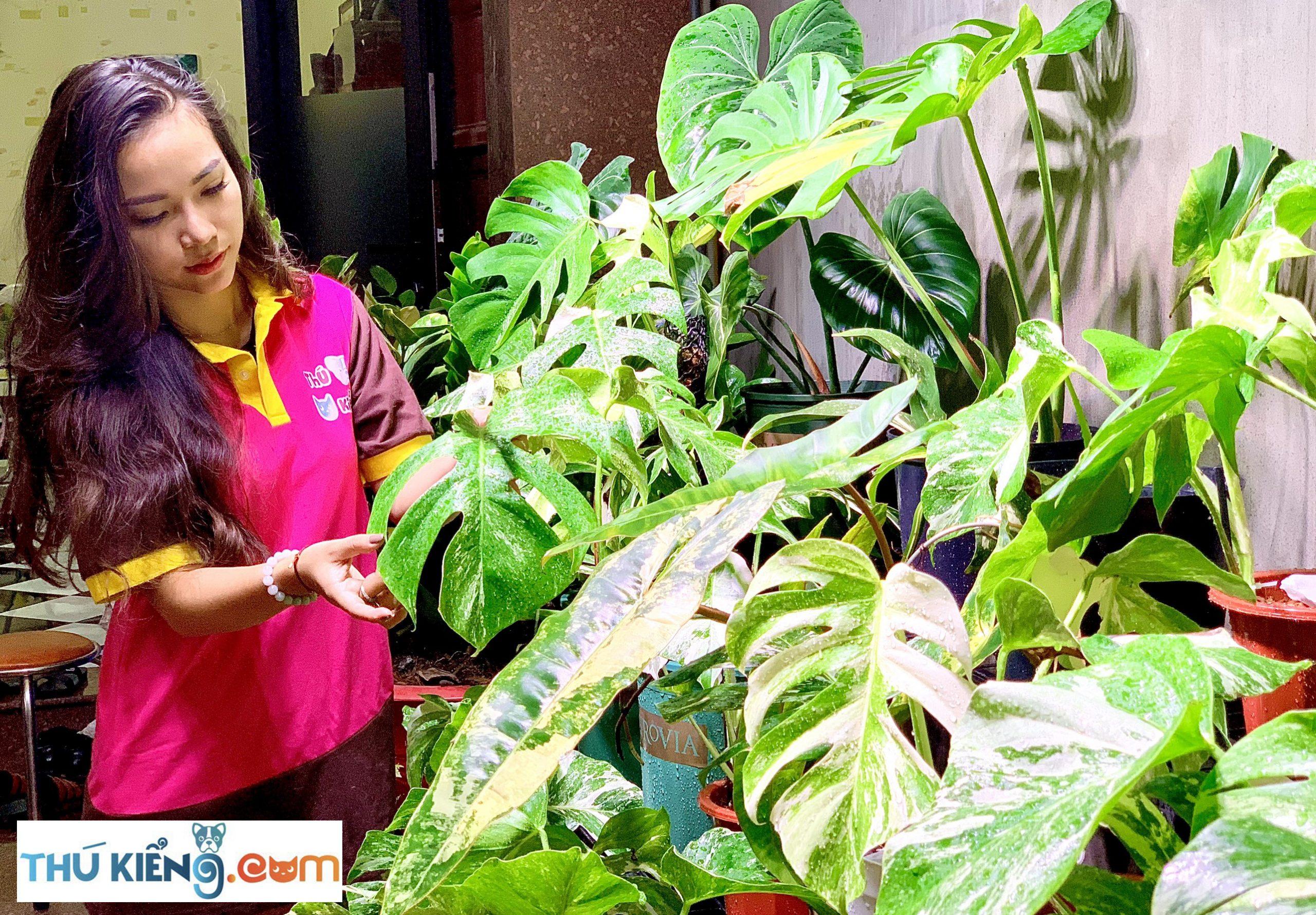 Nên trồng cây Trầu bà lá xẻ đột biến ở trong nhà