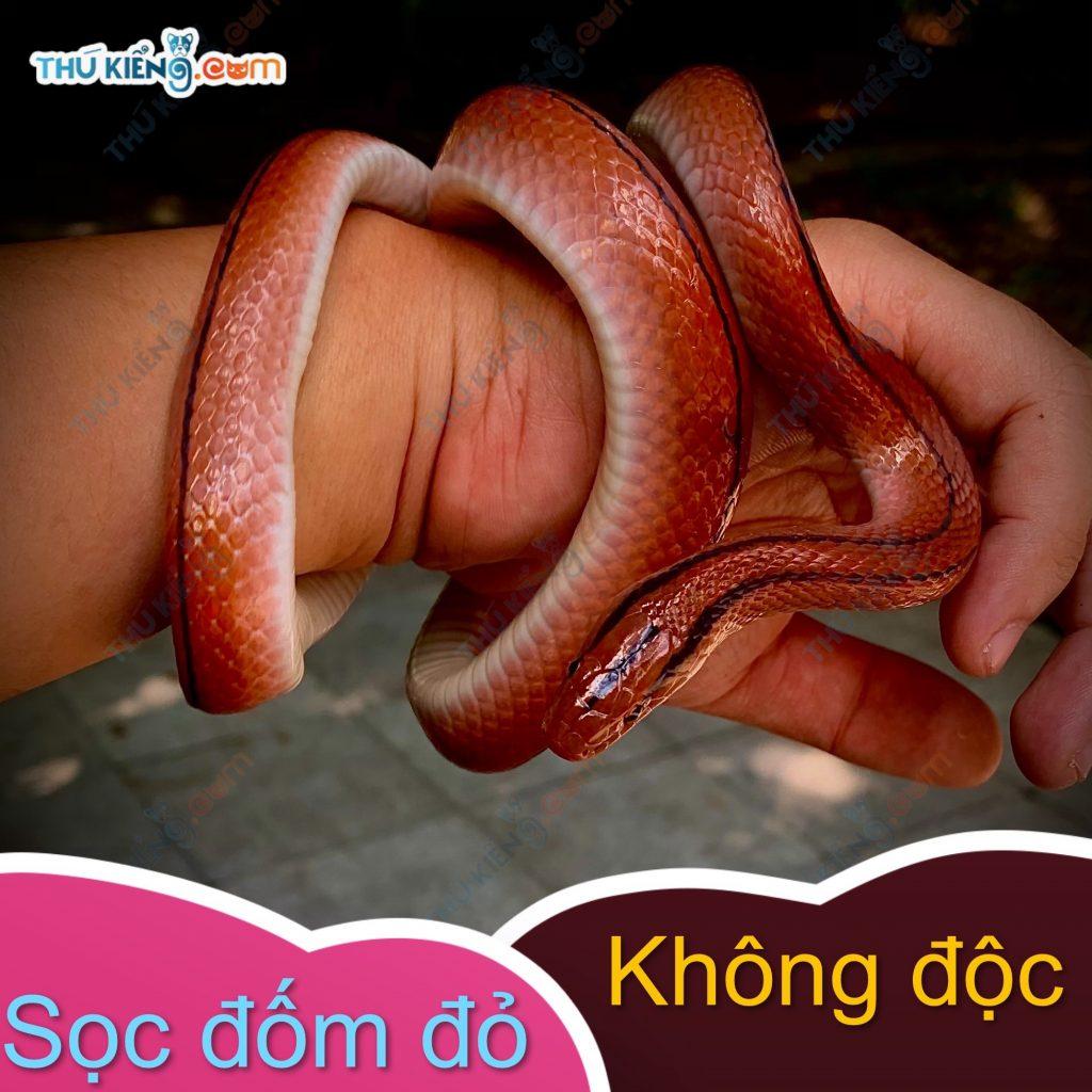 Hình dáng của rắn Sọc Đốm Đỏ