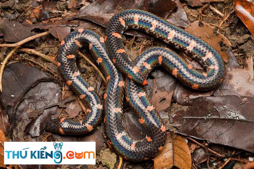 Bán rắn Trun tại Hà Nội