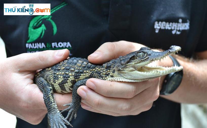 Cá Sấu Xiêm có kích thước nhỏ, phù hợp để nuôi làm cảnh