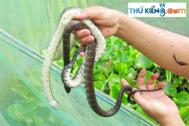 Giá bán rắn Ri Cá