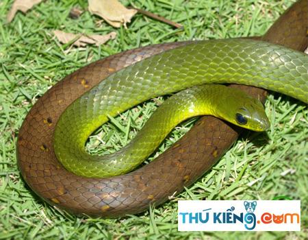 Hoa văn đặc trưng của rắn nhiều đai
