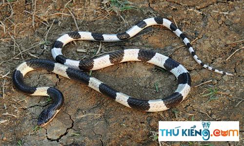 Nọc độc rắn cạp nia có thể gây chết người