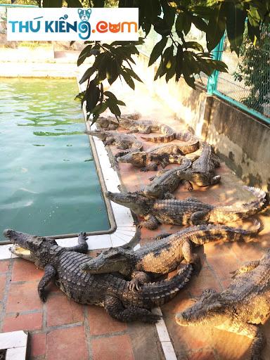 Nuôi cá Sấu Xiêm mang lại phong thuỷ tốt cho gia chủ