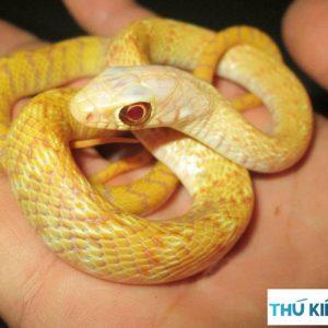 Rắn Hổ Trâu Albino Vàng