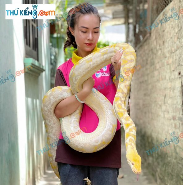 Trăn Albino Green Burmese Python